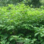 Industry Welcomes Japanese Knotweed Code of Practice