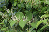 Renovations and Japanese Knotweed: How to ensure progress